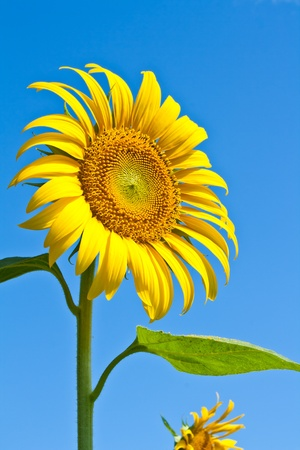Close up of sun flower against a blue sky