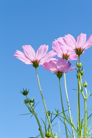 Pink Cosmos flowers with buds against blue sky Stock Photo - 13105212