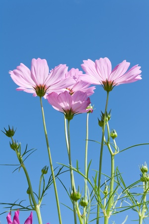 Pink Cosmos flowers with buds against blue sky photo