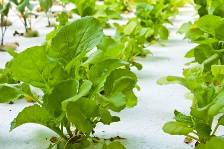 Hydroponics vegetable that no use any ground for plant photo