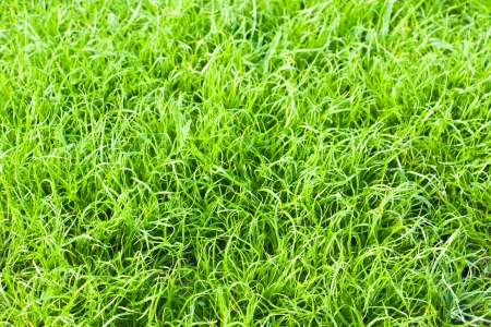 Green grass texture close up in the park photo