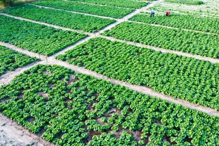 top veiw: Top veiw of the  Chinese cabbage  garden