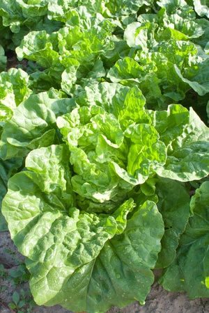 Close up top view of Chinese cabbage Stock Photo - 13693080