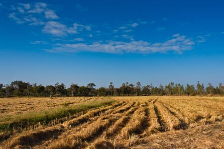 Paddy rice field after harvesting with blue sky Stock Photo - 13693011