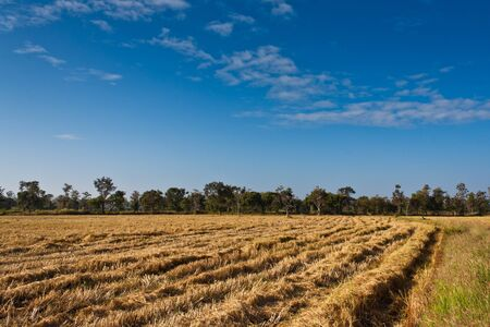 Paddy rice field after harvesting with blue sky Stock Photo - 13693054