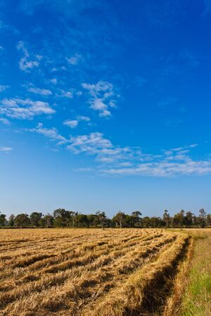 Paddy rice field after harvesting with blue sky photo