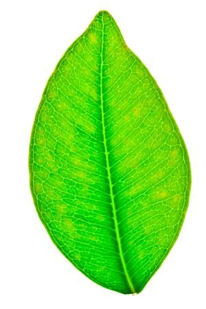A beautiful green leaf isolated on white photo