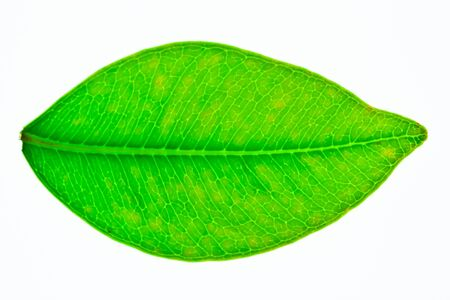 A beautiful green leaf isolated on white Stock Photo - 14388006