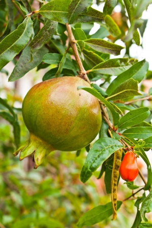 Ripe colorful pomegranate fruit on tree branch Stock Photo - 14637275