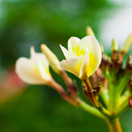 Branch of tropical flowers frangipani  plumeria  for Spa   aromatherapy concept photo