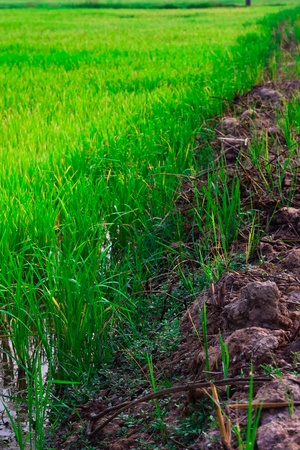 Green rice fields in North-Eastern Highlands of Thailand photo