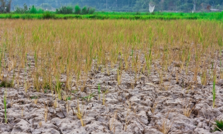 Young plants struggling to grow in barren fields Stock Photo - 15490323