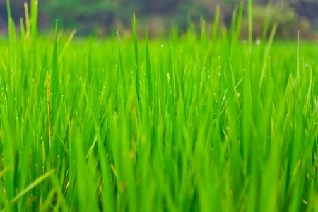Close up rice fields with water drops Stock Photo - 15490290