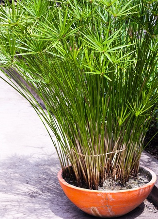 King Tut Papyrus plants growth in the pot photo