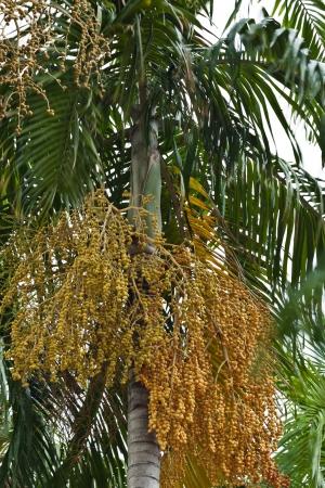 Close up yellow betel nut at palm tree photo
