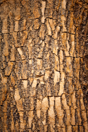 Brown wood bark of tree background and texture photo
