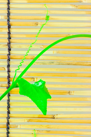 colours tints: Green ivy shoots on  Japanese bamboo blind Stock Photo
