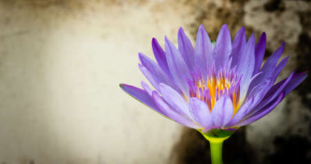 Purple lily with yellow stamens are blooming against a dark old backdrop.