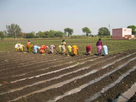 transplanting: Onion transplanting Stock Photo