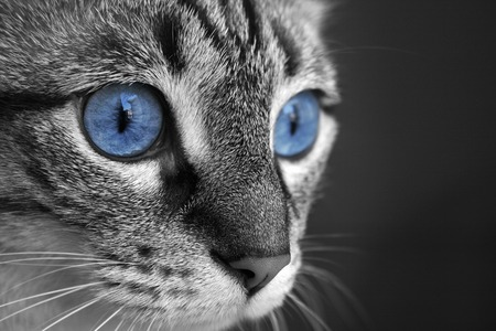 black and white close up of cat with deep blue eyes