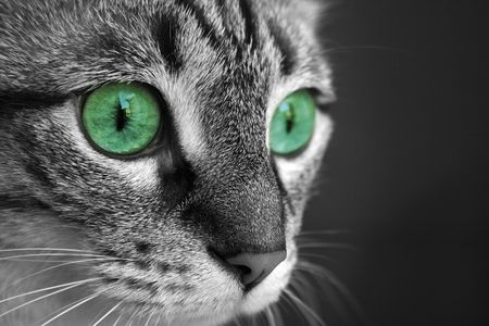 side profile of tabby cat in black and white with green eyes photo