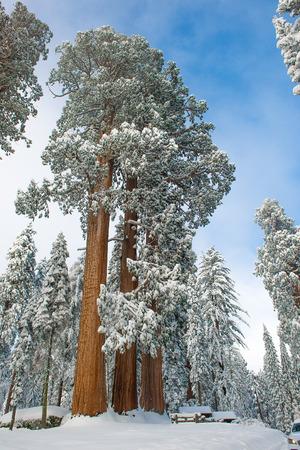ジャイアント セコイアの木でキングス キャニオン ・ セコイア国立公園冬の間に