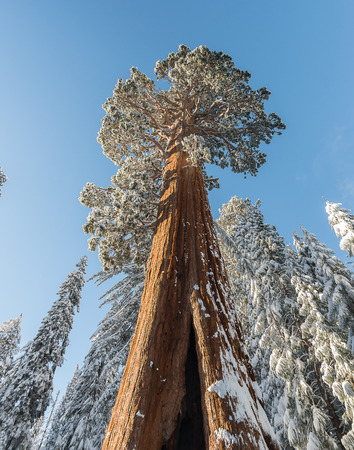 Giant Sequoia Trees in Kings Canyon & Sequoia National Park during the winter Stock Photo
