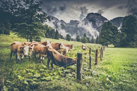 Kühe auf der Alm in den Alpen