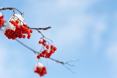 rowanberry: Frozen rowanberry under the first snow. Selective focus Stock Photo