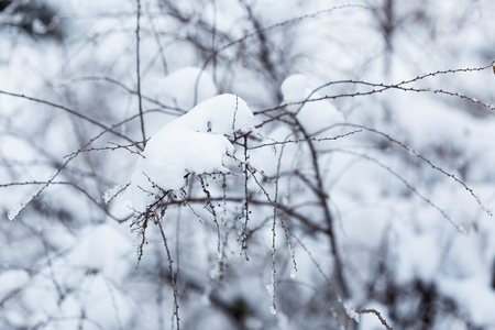 wintery day: Branches under the snow in winter forest. Selective focus