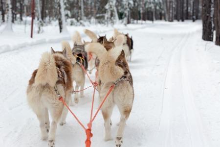 mushing: Husky sledge in a forest winter landscape