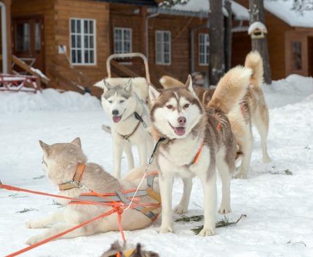 mushing: Two husky dogs on winter landscape