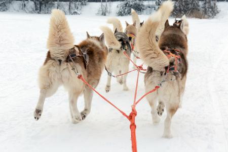 mushing: Husky sledge ride in a winter landscape. Motion blur