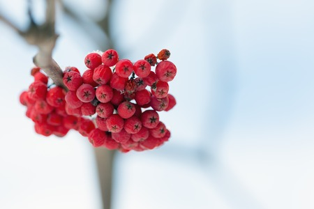 frosty: Frozen rowanberry under the first snow. Selective focus Stock Photo