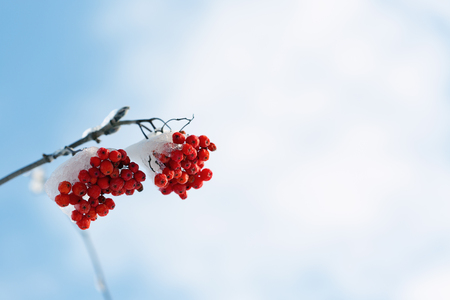ash berry: Frozen rowanberry under the first snow. Selective focus Stock Photo