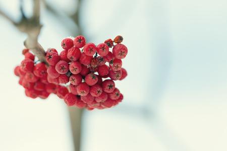 rowanberry: Frozen rowanberry under the snow. Selective focus