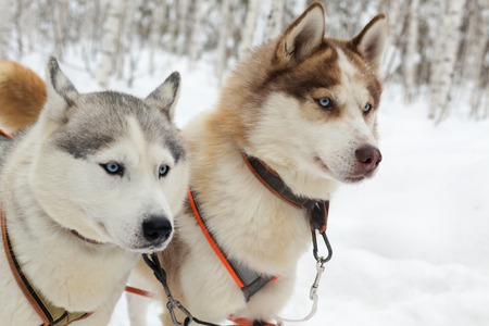 mushing: Two husky dogs on winter landscape. Selective focus Stock Photo