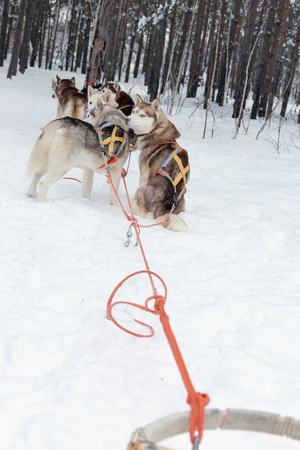 mushing: Husky sledge in forest winter landscape. Selective focus