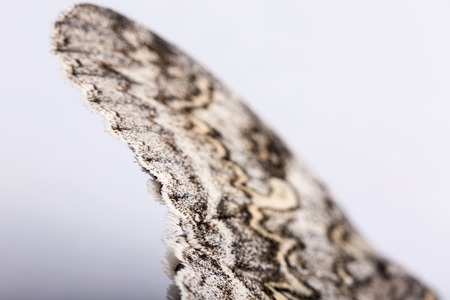 sericulture: A butterfly of silkworm on white background. Shallow dof
