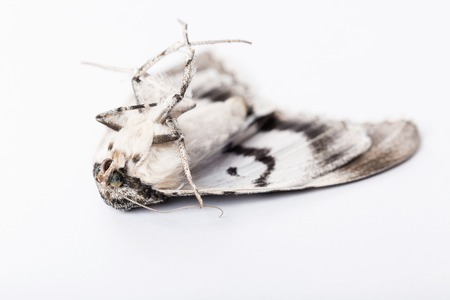 sericulture: A dead butterfly of silkworm on white background. Shallow dof