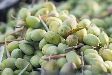 collected: Ripe green olives sorted out and collected Stock Photo