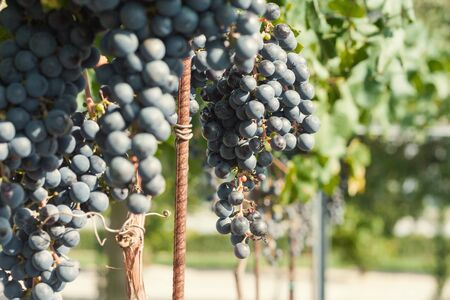 Vineyard harvest. Ripe grapes in fall Stock Photo