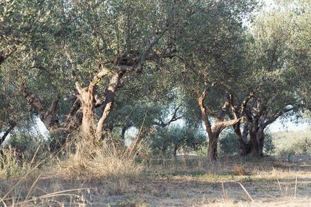 Groene olijven in olijfgaard bij zonsondergang