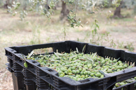 Ripe green olives collected in box Stock Photo