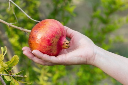 Female Hand Holding Pomegranate