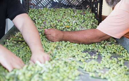 sort out: Sorting the ripe green olives