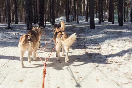 mushing: Husky sledge in winter Stock Photo