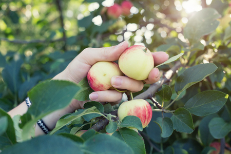 A woman hand picking a red ripe apple from the apple tree