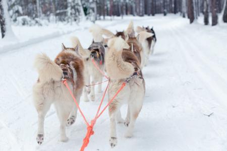 mushing: Husky sledge ride in winter forest landscape Stock Photo