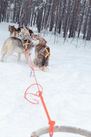 Husky sledge ride in winter forest landscape Stock Photo